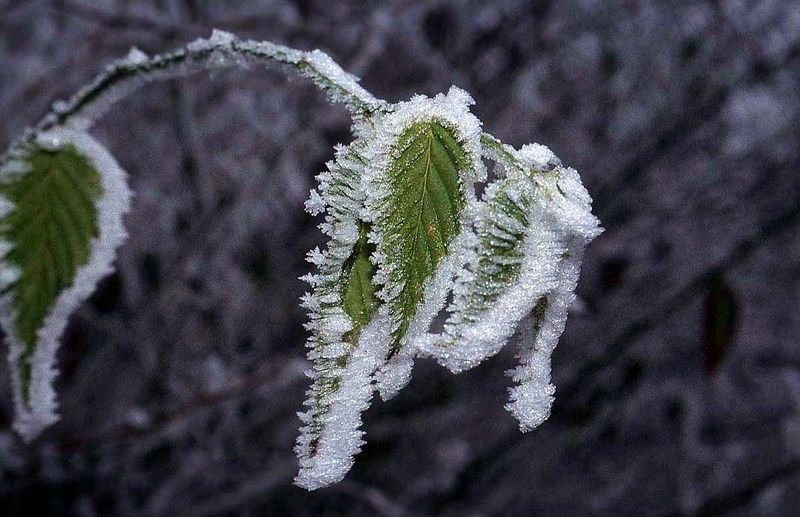 Frost-leaf-nlj7