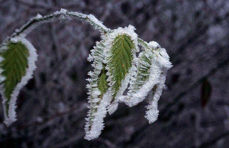 Frost-leaf-nlj7