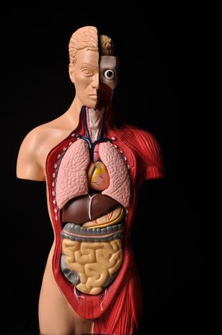 Inner organs