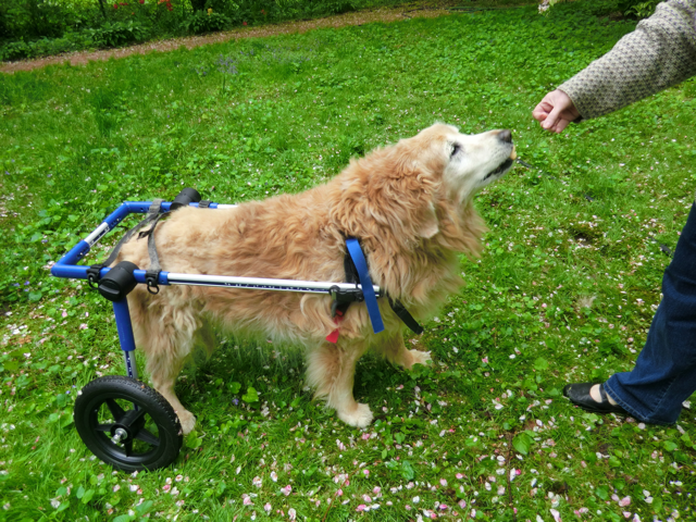 Byzy in his wheelchair
