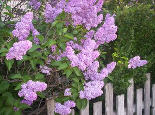 Lilacs and fence-1