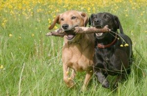 Two-dogs-running-together-with-a-stick-300x197