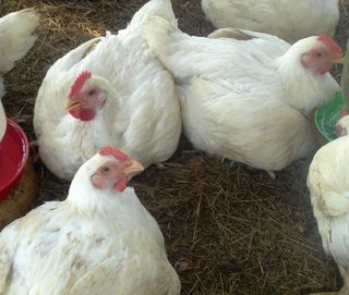 Chicks,last