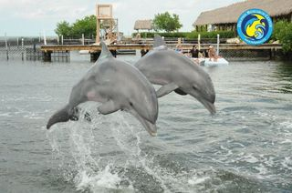 Dolphin dream date--the babies flying high