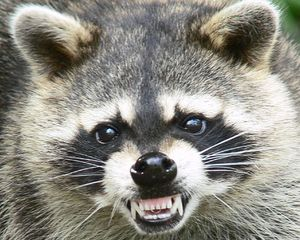 Raccoon[1]